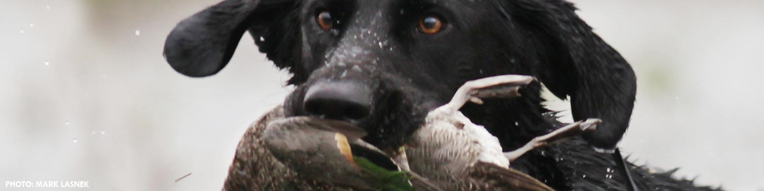 black lab with duck in mouth