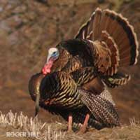 turkey hunting information