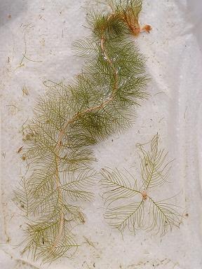 Eurasian Watermilfoil - Invasive Plant