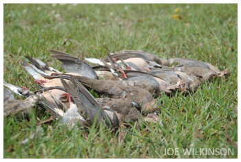 A limit of mourning doves taken during Iowa's first ever dove season.  Photo by Joe Wilkinson, Iowa DNR.