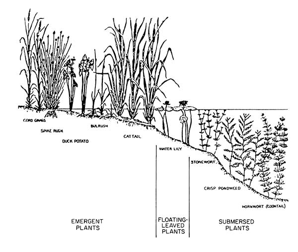 Diagram showing emergent plants, floating plants and submerged plants