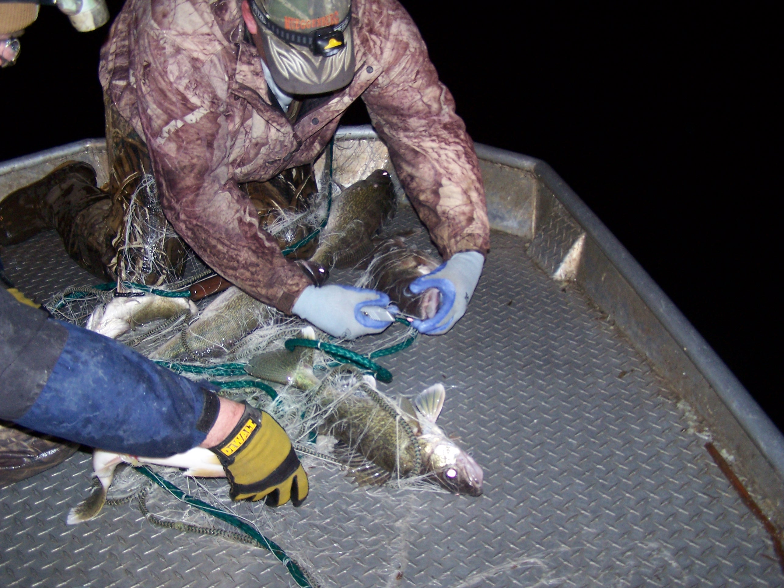 DNR fisheries staff conducting a gillnetting survey on walleyes in Spirit Lake.