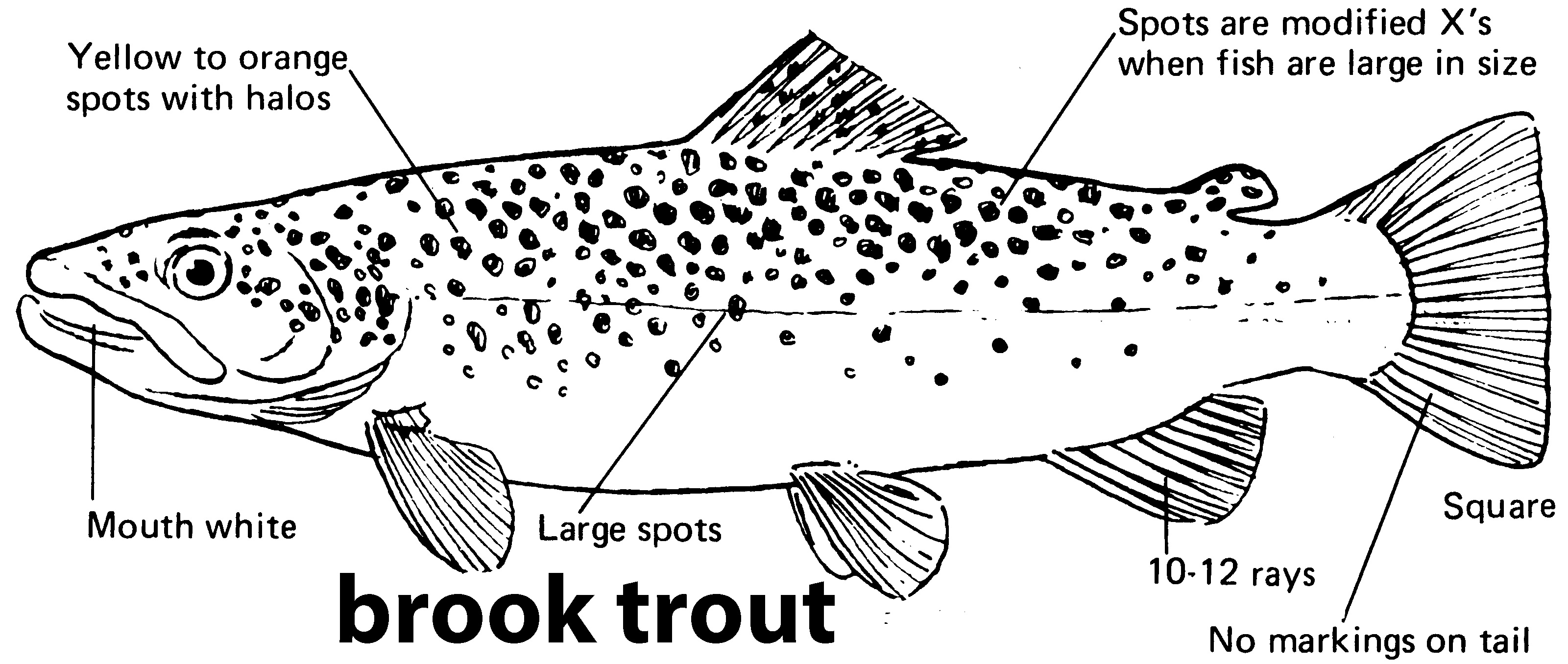 characteristics of a brook trout