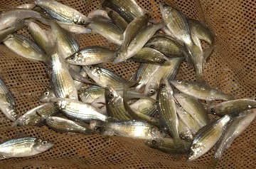 A net full of yellow bass that fisheries staff caught during sampling efforts.