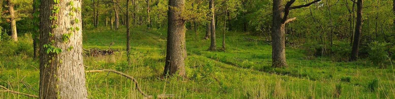 Pine Lake, trees