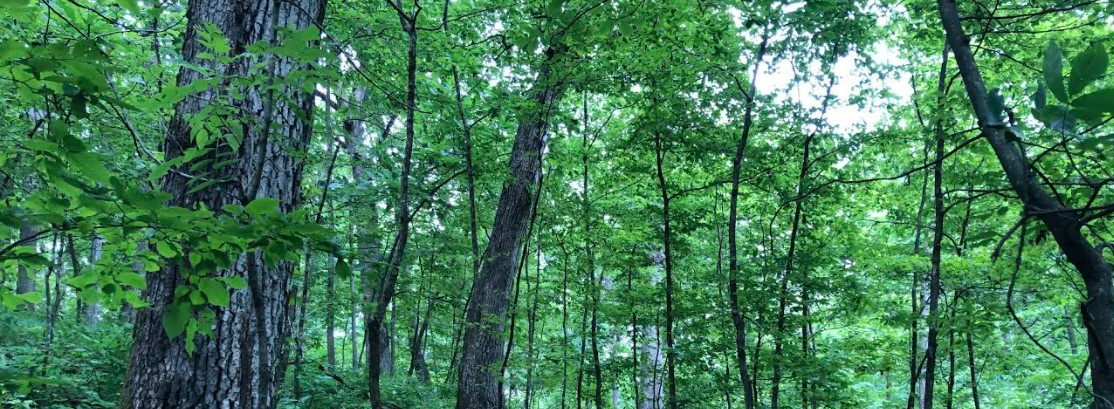 oak hickory forest