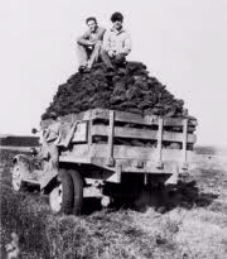 Hand-cut peat blocks are trucked from a field in Iowa during the 1930 harvest.