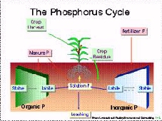 The Phosphorus cycle for corn.