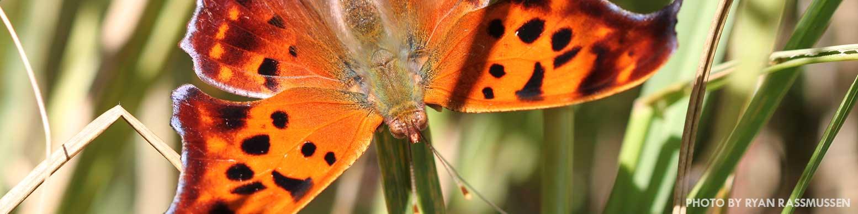 Orange butterfly, a question mark