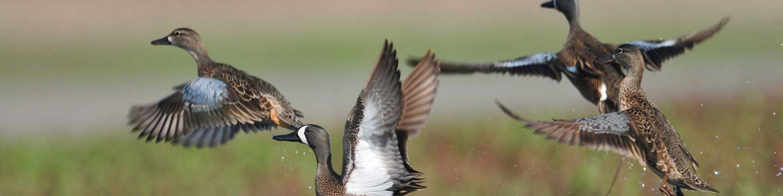 Migratory Game Birds