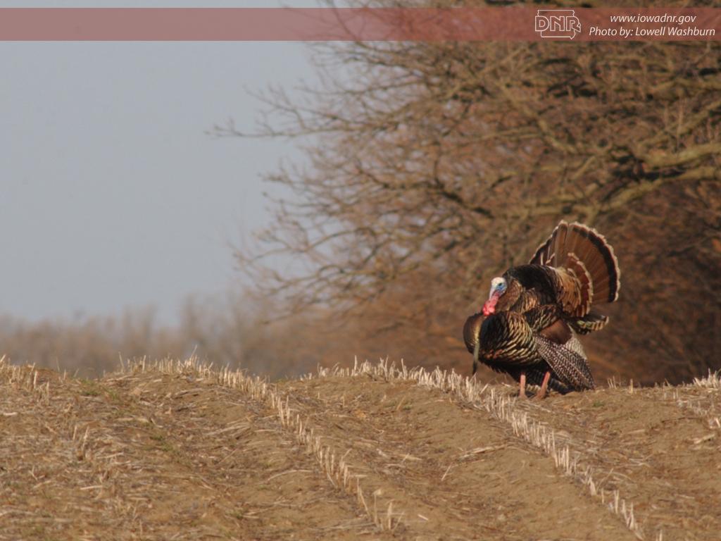 turkey hunting wallpaper