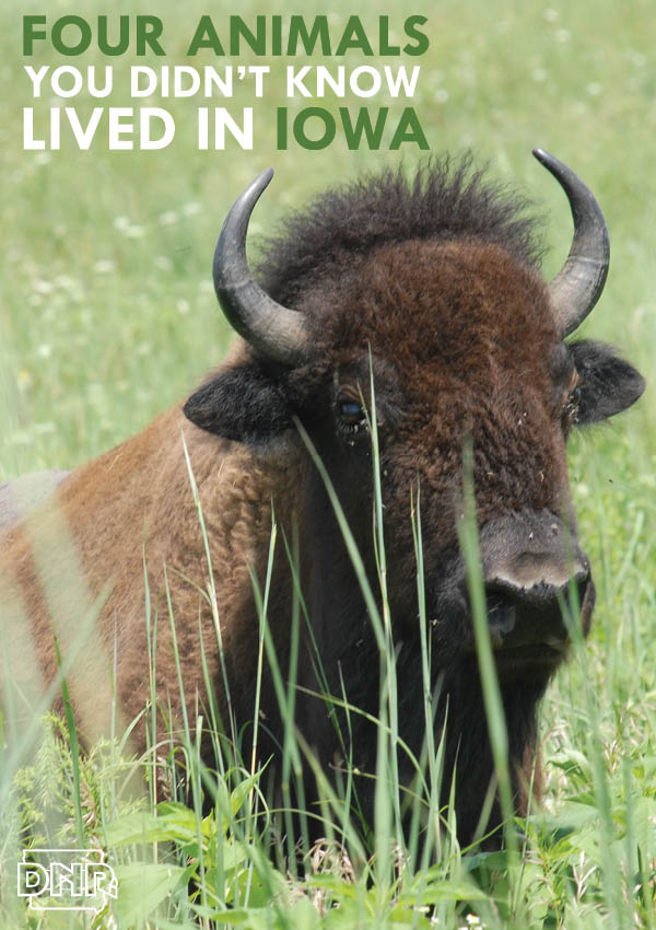 Four animals you didn't know were native to Iowa - from the Iowa DNR