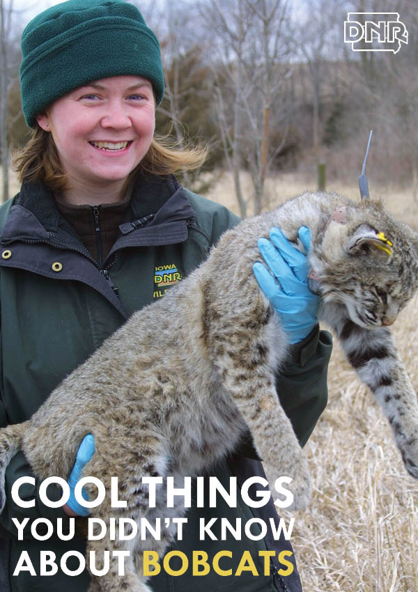 Cool facts you didn't know about bobcats from the Iowa DNR