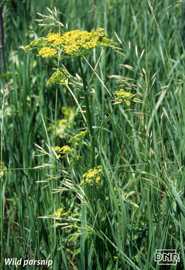 Identifying wild parsnip and other poisonous Iowa plants | Iowa DNR