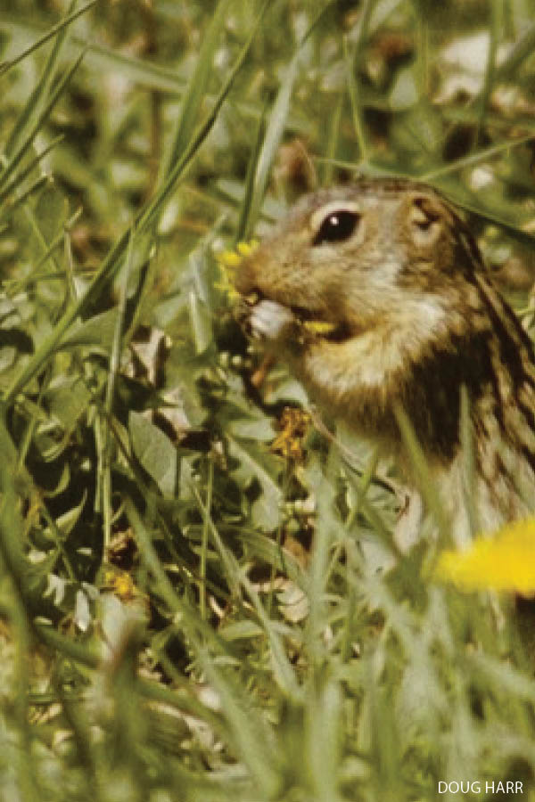 The thirteen-lined ground squirrel spends more of the year asleep than awake!  |  Iowa DNR