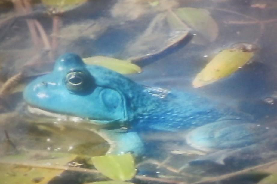 Have you ever seen a blue bullfrog? Our biologists explain this rare phenomenon | Iowa DNR