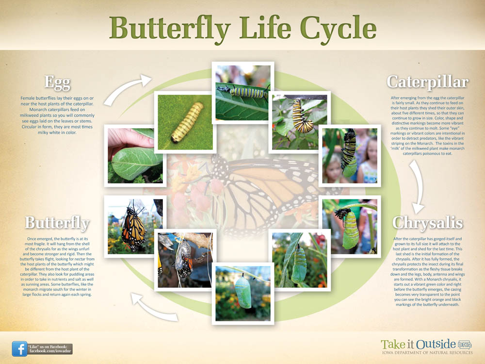 Follow the life cycle of a butterfly | Iowa DNR