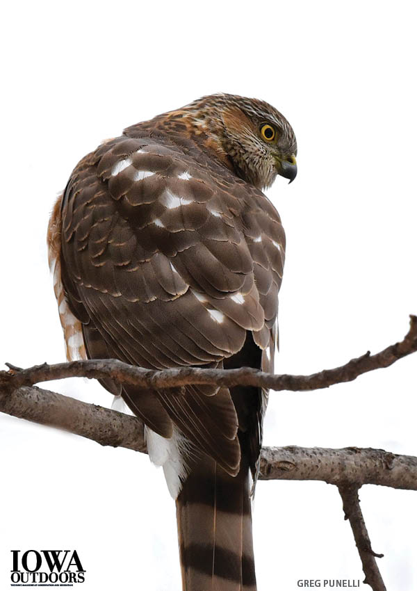 Whats For Lunch Asked Coopers Hawk >> Cool Things You Should Know About Cooper S Hawks Dnr News Releases