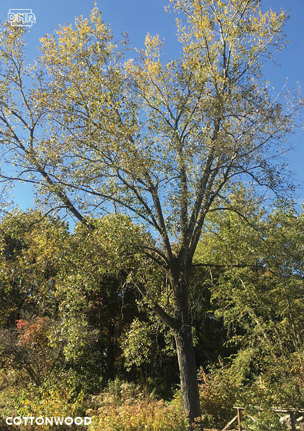 Cottonwood is a great tree to plant if you're looking for a tree that grows quickly | Iowa DNR
