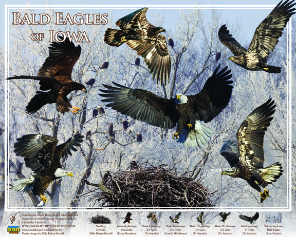 Proceeds from this bald eagle poster help support nongame wildlife efforts in Iowa! | IowaDNR