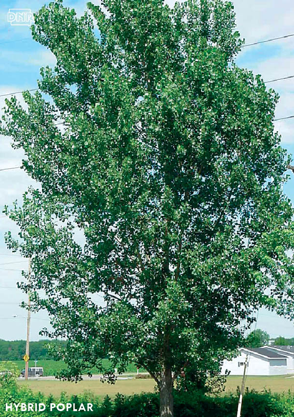 Hybrid Poplar Tree Fastest Forest: 5 Quic...