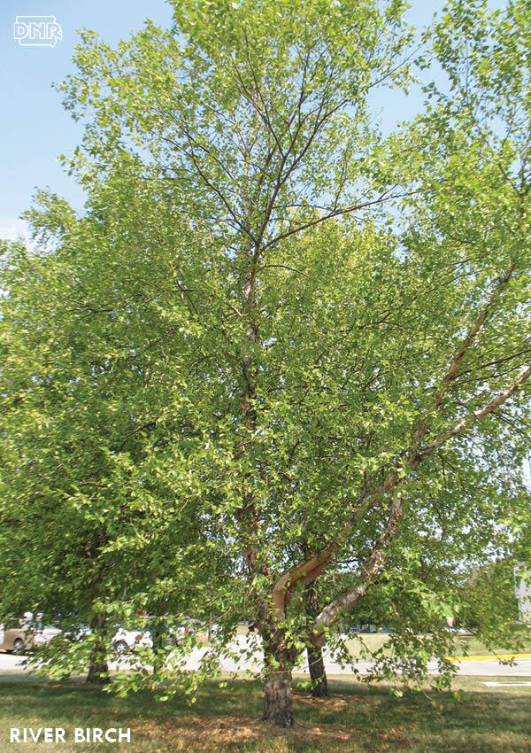 Need a fast growing tree? Try river birch | Iowa DNR