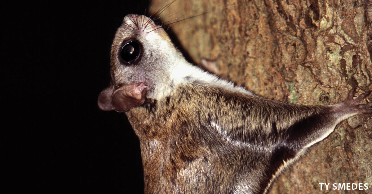 Flying squirrels live statewide, but seeing them is a whole different story. These tiny squirrels are strictly nocturnal. When they sleep, they hide away in tree cavities, making it difficult to catch a glimpse of them. Photo by Ty Smedes.  |  Iowa DNR