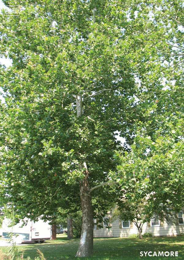 Sycamores are great choices if you need fast-growing trees | Iowa DNR