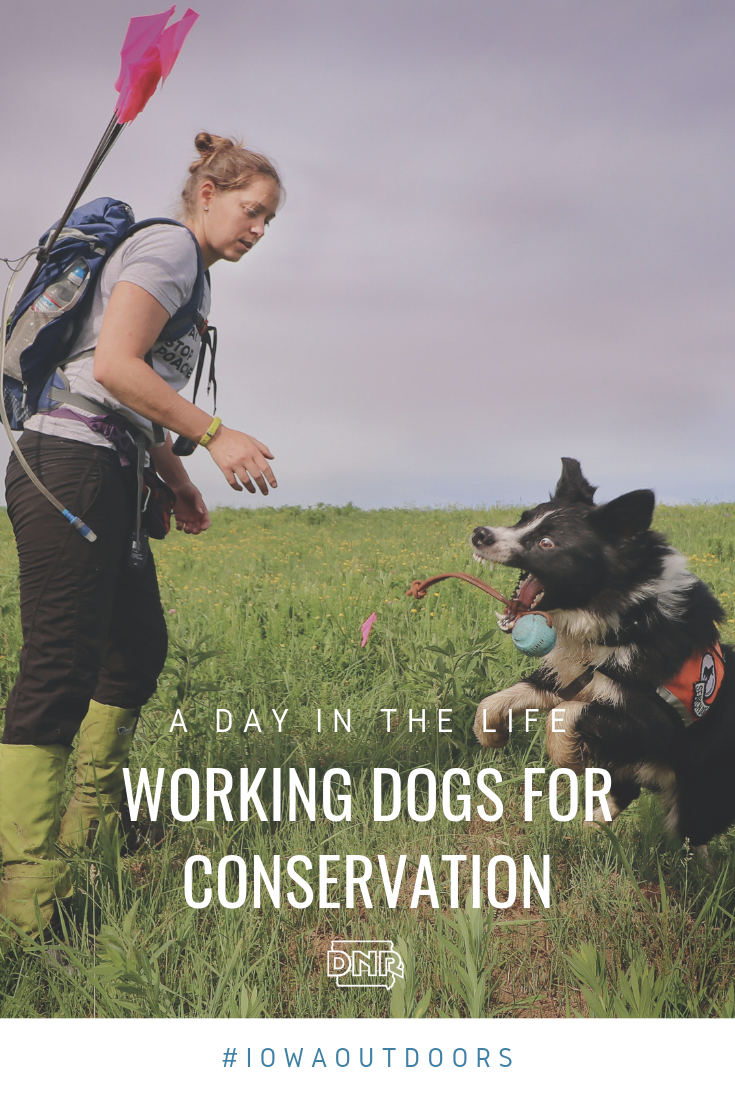 A Day in the Life of a Working Dog for Conservation - DNR
