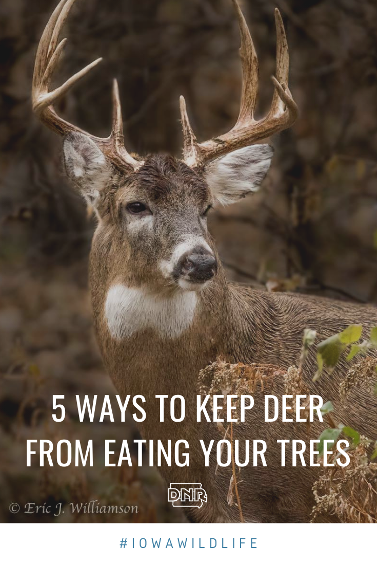 5 ways to keep deer from eating your backyard trees and shrubs  |  Iowa DNR