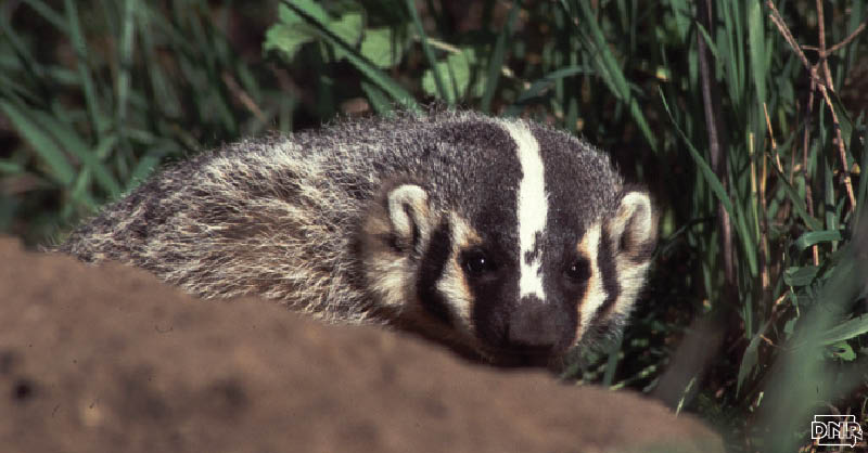 You don't need to dig too deep to know catching a glimpse of a badger is a rare sight in Iowa. However, that doesn't mean they're not around – they're just good at keeping a low profile. | Iowa DNR