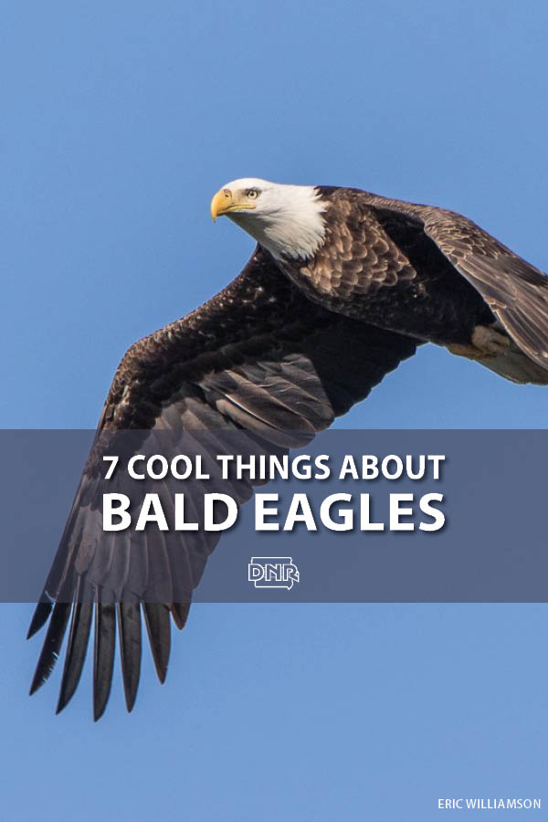 How much do you know about our national bird? Here are 7 cool things to know about bald eagles | Iowa DNR