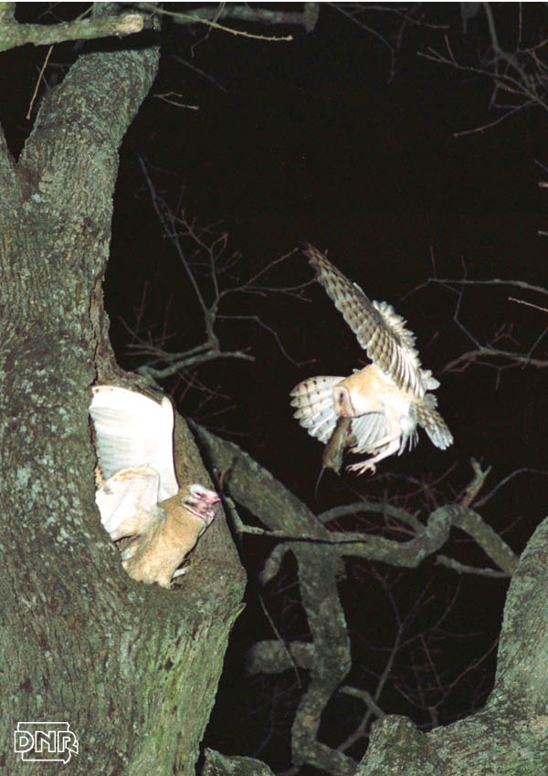 Barn owls, an endangered species in Iowa, have a nighttime snack in this special north Iowa woodlot | Iowa DNR