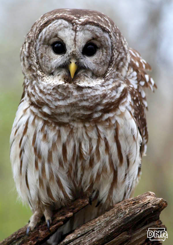 How to identify a barred owl and other Iowa owls | Iowa DNR
