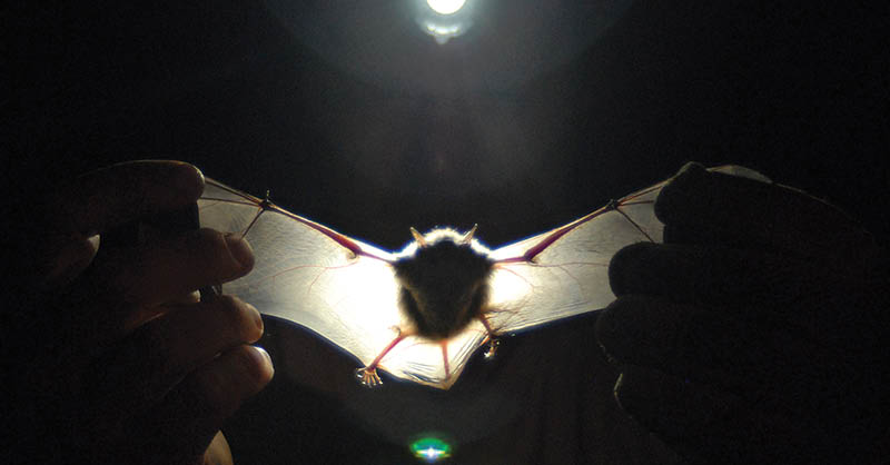 Bats are one of Iowa's true hibernators and more things you should know about bats | Iowa DNR