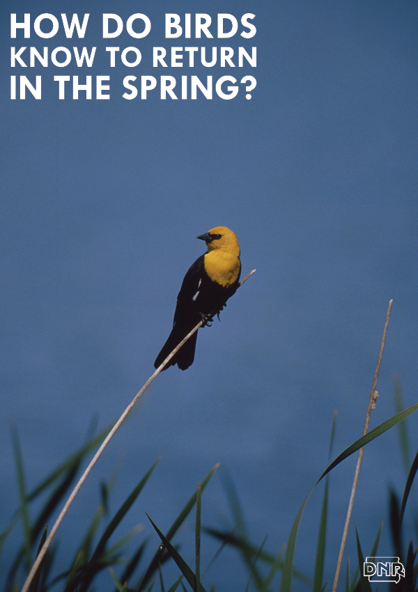 Ever wonder how birds 'know' when to return north in the spring? Iowa Outdoors magazine explains it for you (it's a light thing). | Iowa DNR