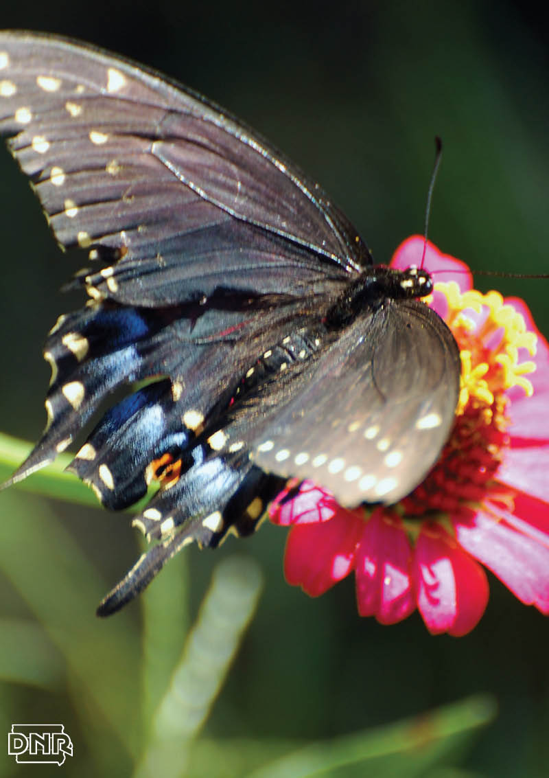 Black swallowtail butterfly | Iowa DNR