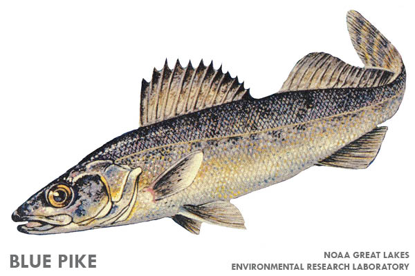 11 Extinct Animals You Didn't Know Were Iowan: Blue pike | Iowa DNR