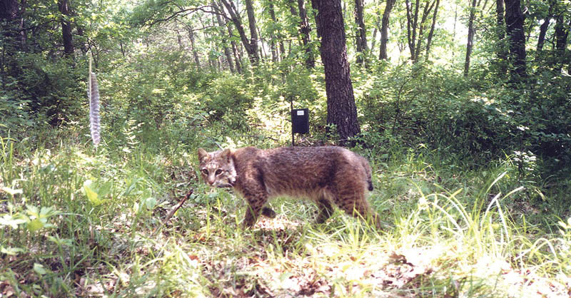 Cool Things You Should Know About Bobcats in Iowa - DNR News Releases