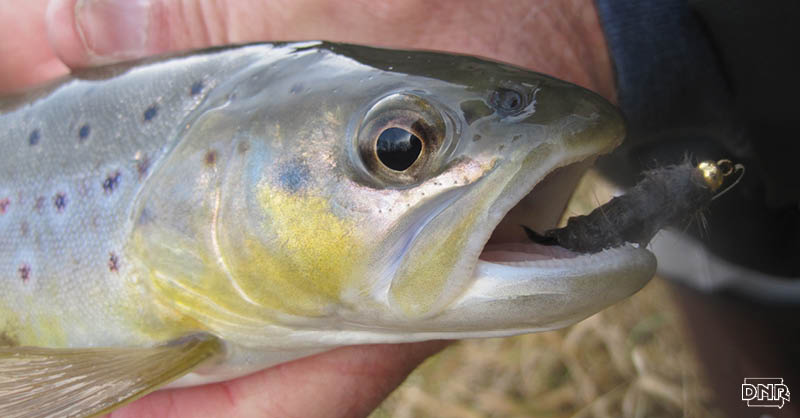 In 1980, only six streams in Iowa sustained a trout population without stocking. In 2007, it grew to 32 streams and today, trout reproduce naturally on 45 Iowa streams, thanks to improvements. With cleaner water, trout can spawn naturally and better feed on aquatic insects, resulting in greater fish diversity. | Iowa DNR