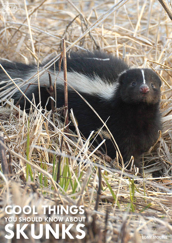 Did you know skunks don't spray right away? They first warn predators and competitors of the impending stench by stomping their feet, clicking their teeth and raising their tails. | Iowa DNR