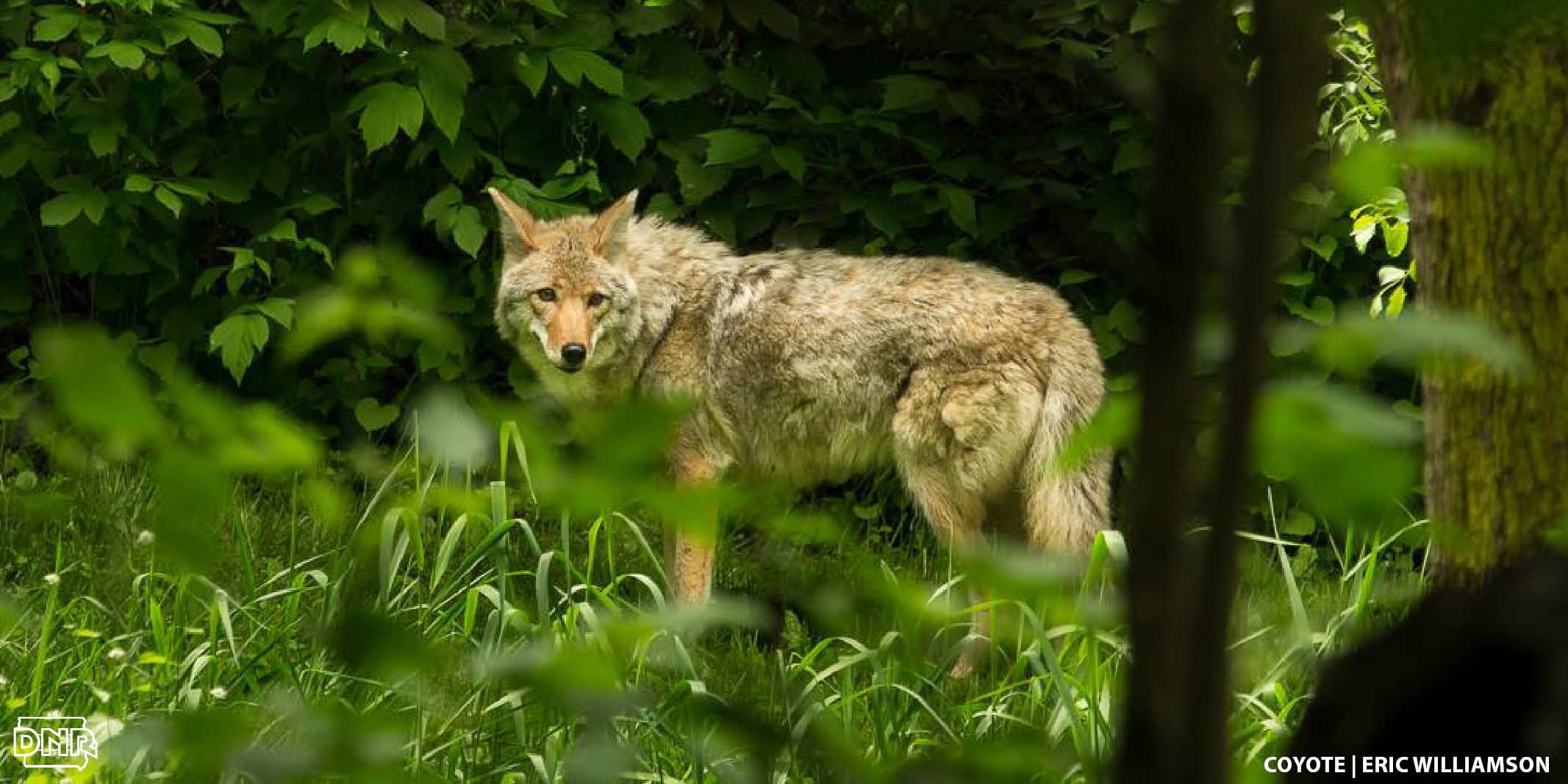 Can you tell the difference between a coyote and a wolf? 4 quick ways to tell the difference | Iowa DNR