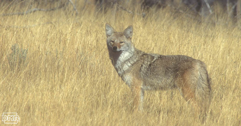 6 Cool Things You Should Know About Coyotes Dnr News