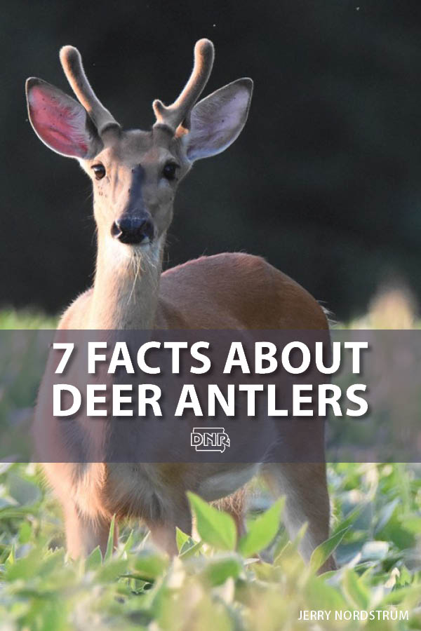 7 things you may not know about deer antlers  |  Iowa DNR