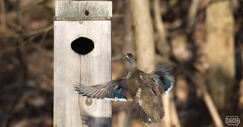 Build your own next box for ducks with these plans from Iowa Outdoors magazine