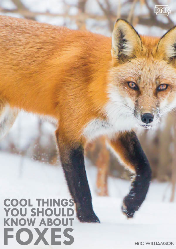 This is what the fox really says (and more cool things you should know about foxes) | Iowa DNR