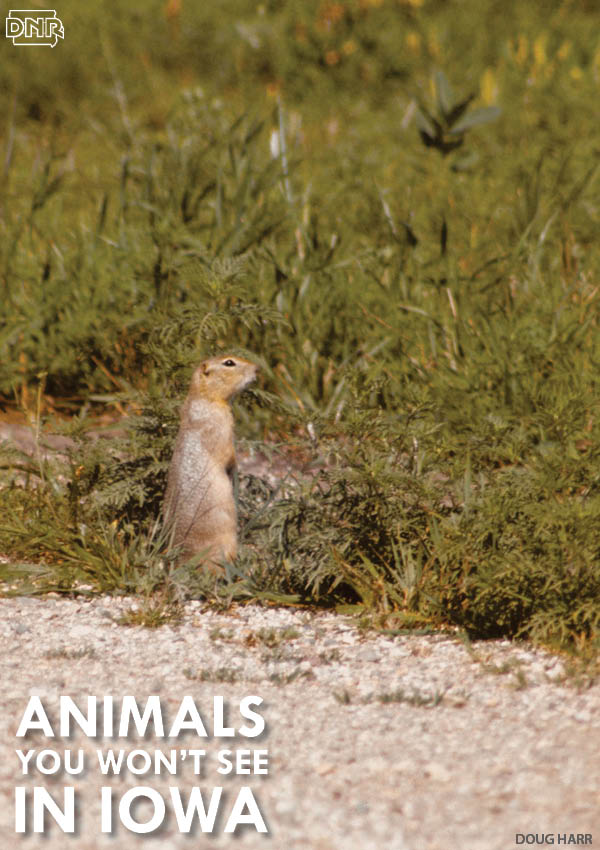 The Franklin's ground squirrel is one Iowa species that's tough to spot - learn about it and 8 other hard-to-see species | Iowa DNR