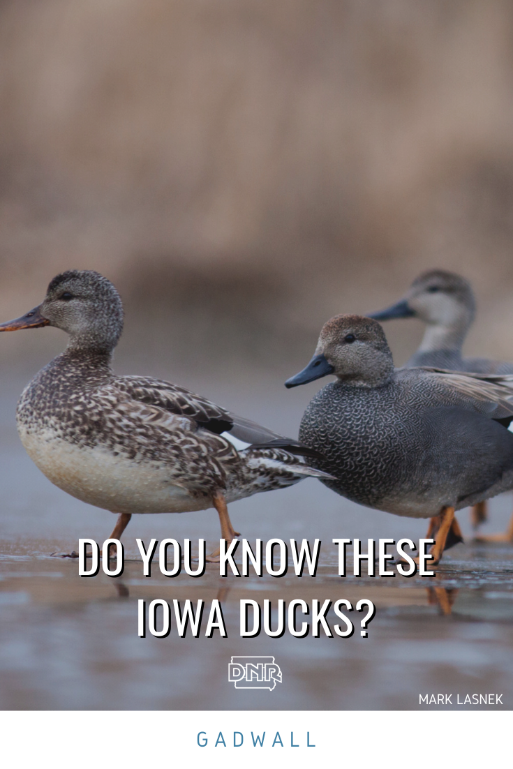 Male gadwall ducks flash a gray-brown color with a black patch at the tail while females wear brown and buff-colored feathers with a thin orange edge on their bills.  |  Iowa DNR