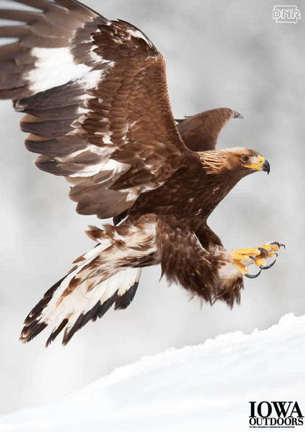 Learn about Iowa's winter raptors - like the golden eagle!  | Iowa DNR