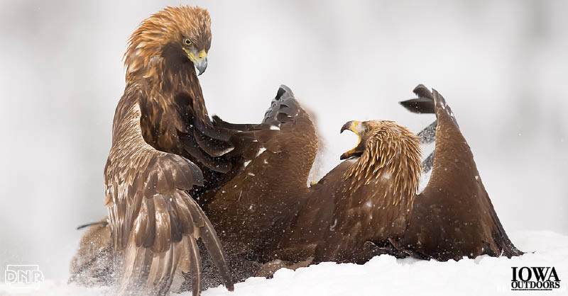 Once thought as wanderers from the Rocky Mountains and western states, research shows Iowa's wintering golden eagles travel thousands of miles from the far, far north. | Iowa Outdoors Magazine